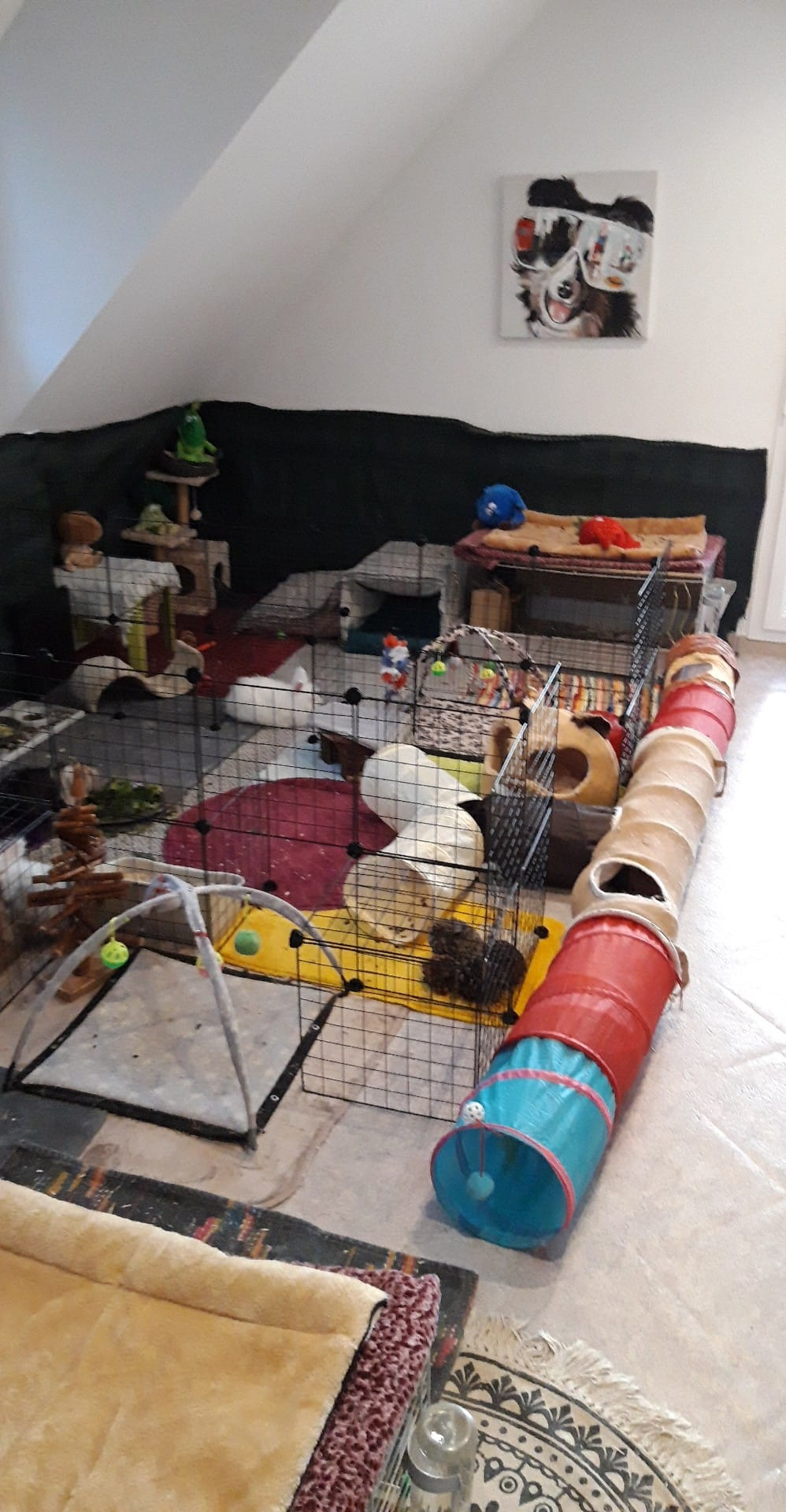 cavy colorée avec pleins de tapis et jouets pour lapin