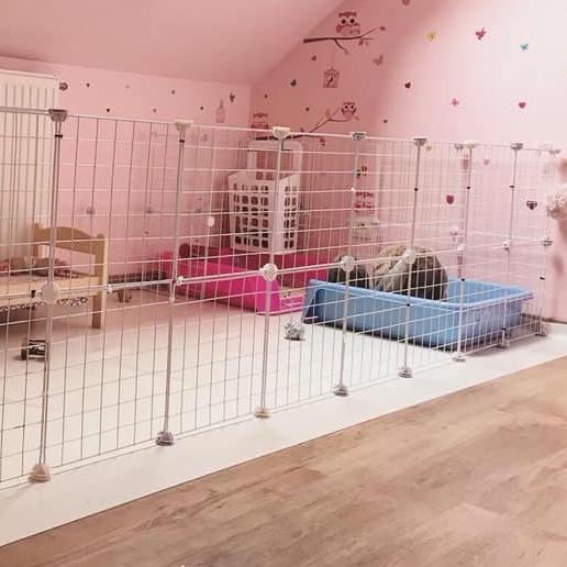 grande cavy lapins