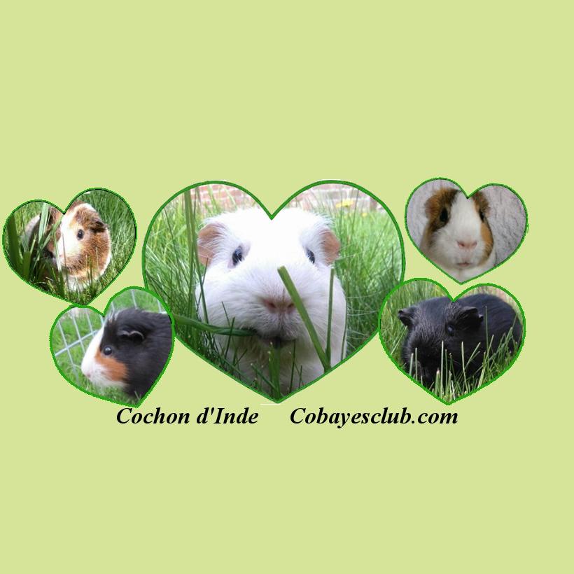 Cochon d'Inde - Cobaye's Club