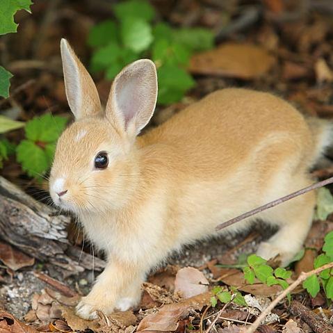 Okunoshima, le paradis du lapin